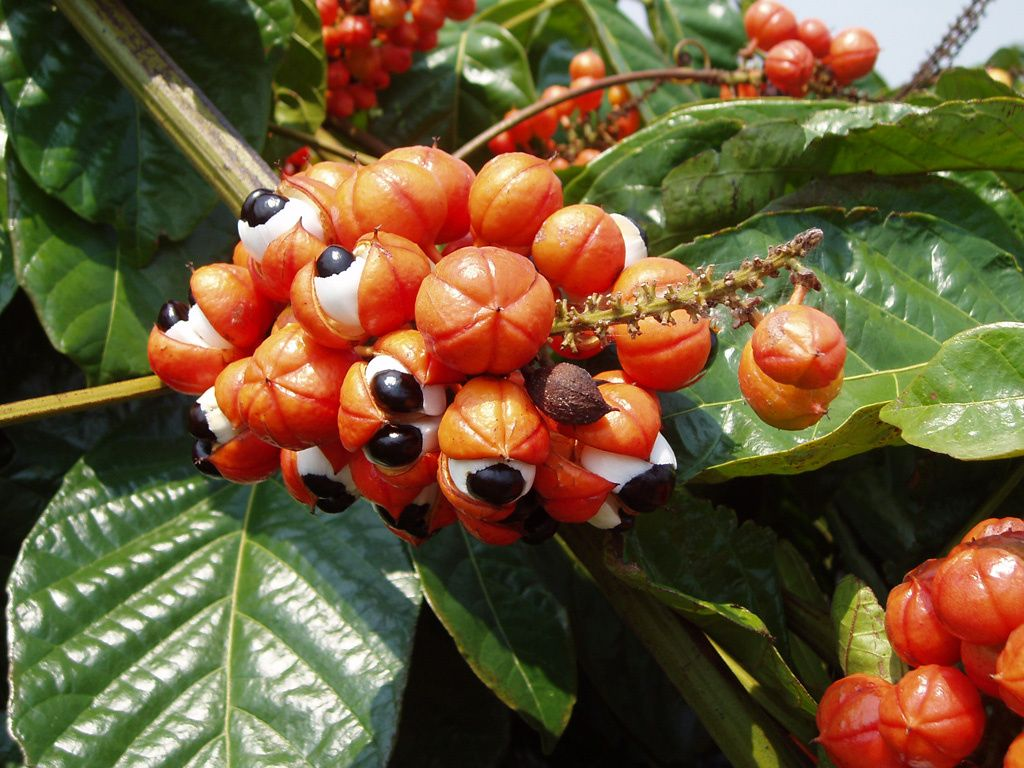 Guarana, how it can give you the energy you need